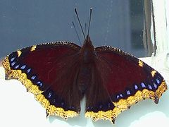Black Butterfly-Papillon Noir.JPG