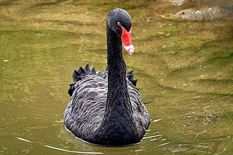 Black swan - Black Swan at San Francisco Zoo, USA