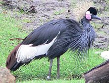 Black crowned crane.jpg