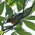 Blackburnian Warbler (4607331045).jpg