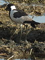 Blacksmith lapwing in Tanzania 3346 cropped Nevit.jpg