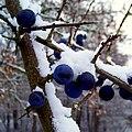 Blackthorn - Flickr - Stiller Beobachter (2).jpg