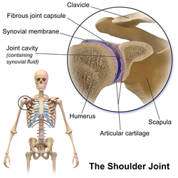 depression in the scapula that articulates with the humerus