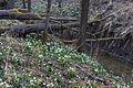 Bledule jarní v PR Králova zahrada 64.jpg