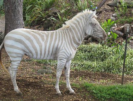 Zebra Classification A cream zebra in captivity