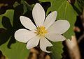 Bloodroot (Sanguinaria canadensis) (21857621280).jpg