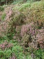 Blooming heather - geograph.org.uk - 980126.jpg