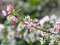 Blossom on branch (9029267684).jpg