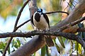 Blue-faced Honeyeater (Entomyzon cyanotis) (31359626946).jpg