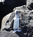 Blue-footed Booby (32858375387).jpg