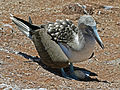 Blue-footed Booby Galapagos RWD4.jpg