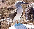 Blue-footed booby (47945194563).jpg
