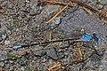 Blue-fronted Dancer - Argia apicalis, Merrimac Farm Wildlife Management Area, Nokesville, Virginia.jpg