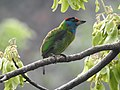 Blue-throated Barbet Megalaima asiatica by Dr. Raju Kasambe DSCN4094 (1).jpg