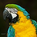 Blue And Yellow Macaw (70005429).jpeg