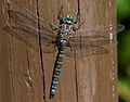 Blue Dragonfly 4 (7974375536).jpg