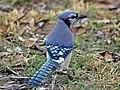 Blue Jay Ash RWD5.jpg
