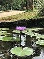 Blue Lotus in Pond.jpg