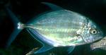 Blue trevally taxobox.png