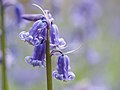 Bluebell (detail) (14118777223).jpg