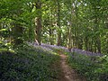 Bluebell Wood - geograph.org.uk - 1877787.jpg
