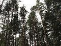 Bořinka, koruny stromů.jpg