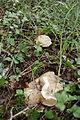 Boletus impolitus-Dordogne 01.JPG