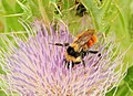 Bombus huntii Hunt's Bumble Bee on Elk Thistle Seedskadee NWR (19166512508).jpg