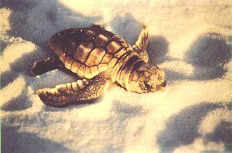 Bon Secour National Wildlife Refuge - A young sea turtle at Bon Secour