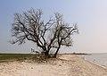 Boom aan IJsselmeerkust. Locatie Mirnser Klif 02.JPG