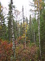 Boreal forest of Canada 03269.jpg