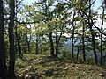 Bosco sulla cima del poggio Cavadenti - panoramio.jpg