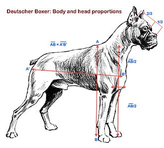 Boxer (dog) - Head and body proportions.