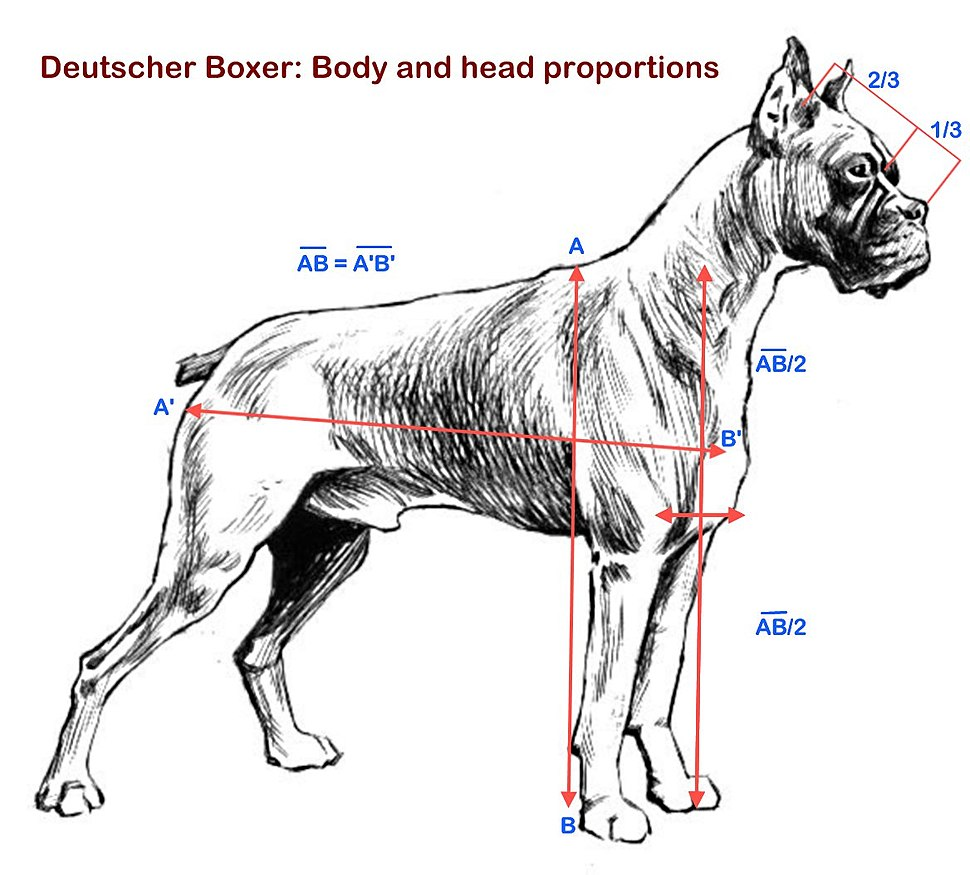 Boxer proportions