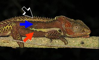 Knysna dwarf chameleon - Male Knysna dwarf chameleon, submissive coloration
