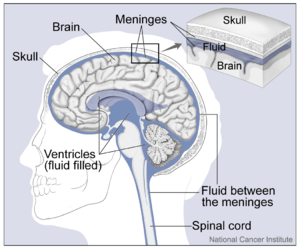 Brain and Nearby Structures.png