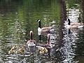 Branta canadensis and Anser anser with goslings - Orpington - 1.jpg