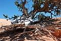 Bristlecone Pine Cedar Breaks Utah.jpg