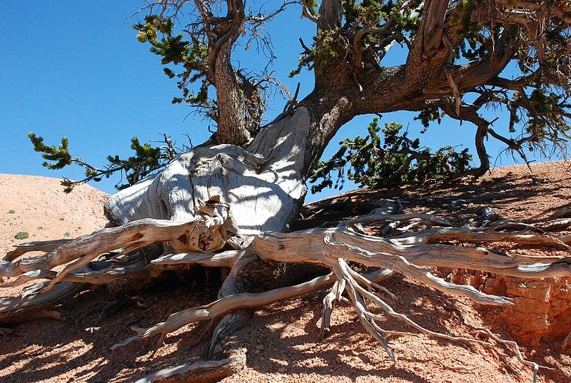 File:Bristlecone Pine Cedar Breaks Utah.jpg