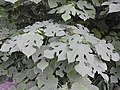 Broussonetia papyrifera-1-AJCBIBG-howrah-India.jpg