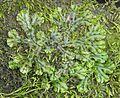 Brunnenlebermoos Marchantia polymorpha Regen nahe Viechtach-001 cropped.jpg
