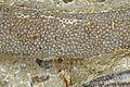 Bryozoa (Czortkow, Podole - Ukraine) 1.jpg