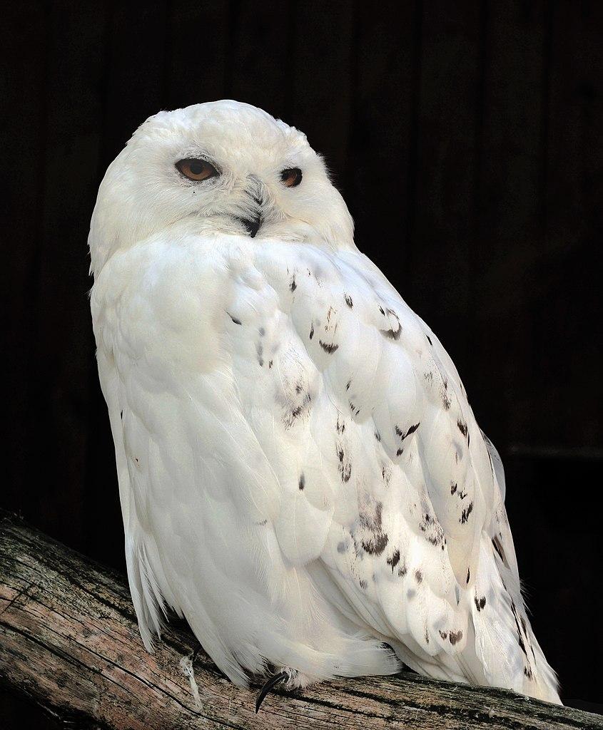 Male Snowy Owl Flying