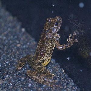 Kajika frog - Image: Buergeria buergeri