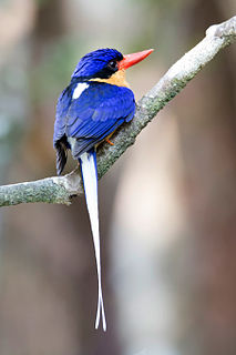 Buff-breasted paradise kingfisher species of bird