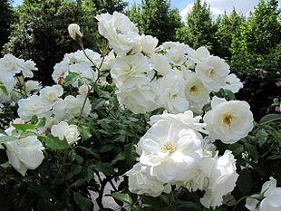 Buisson de fleurs blanches à Bercy.jpg