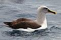 Buller's Albatross (25703235130).jpg