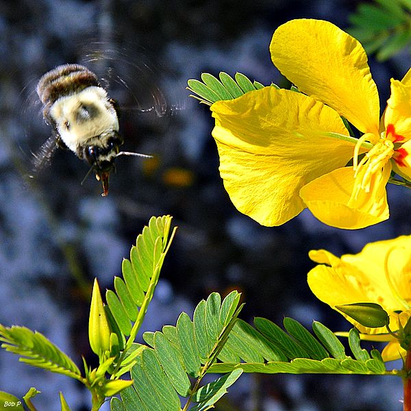 File:Bumble Bees Love Partridge Peas (7475614008).jpg