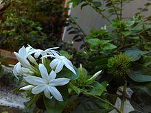 Jasmine - Wikipedia