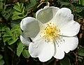 Burnet Rose (Rosa pimpinellifolia) - geograph.org.uk - 1380786.jpg